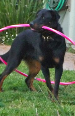 Briones Hoola Hoop Trick Dog Training