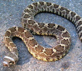 Rattlesnake Avoidance Briones California