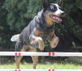 Briones Fun Agility Cattle Dog