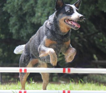 Briones Fun Agility Cattle Dog